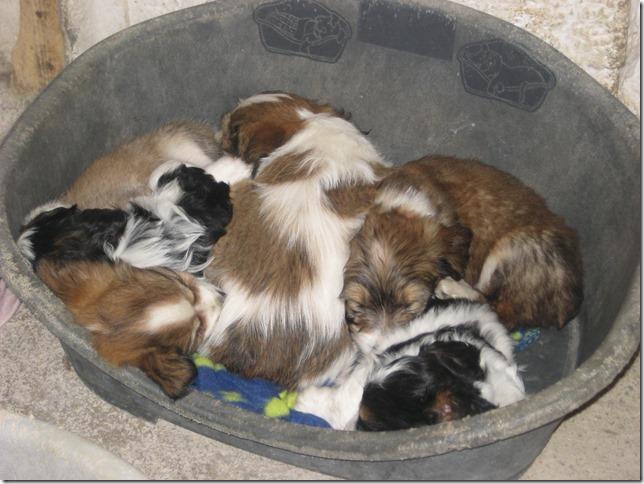 hunde til adoption